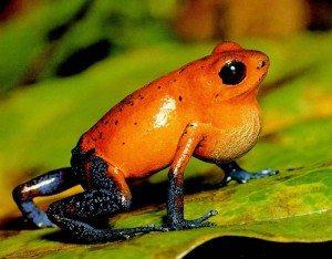Ballchinian poison dart frog.
